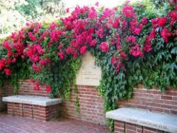 Beautiful Climbing Roses and for Shrub Roses Your Garden